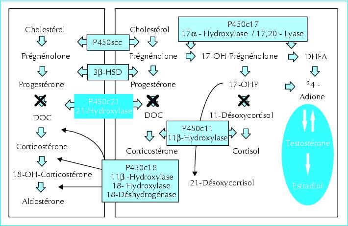 biosynthese des steroides surrenaliens