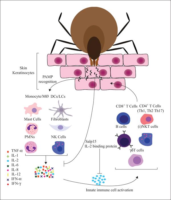 John Libbey Eurotext - European Cytokine Network - The role
